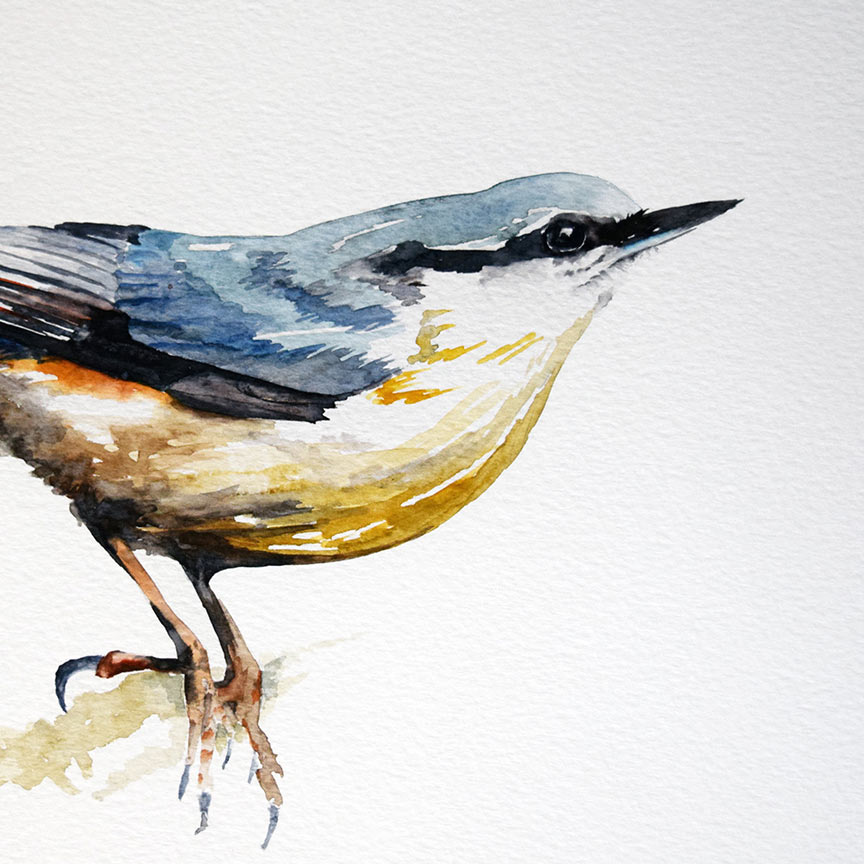 Nuthatch, watercolour, 2018, By Christopher P Jones